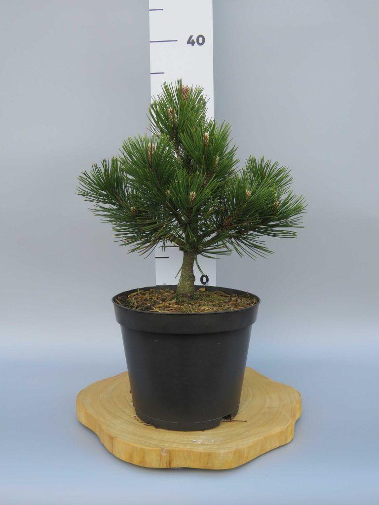 Pinus-heldreichii-Schneverdingen-web