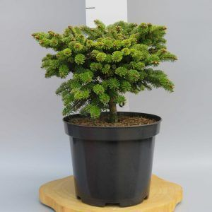 abies-nord-munsterland-web