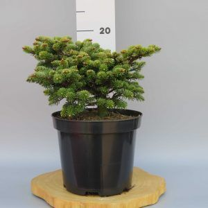 abies-nordmanniana-broom-h-web