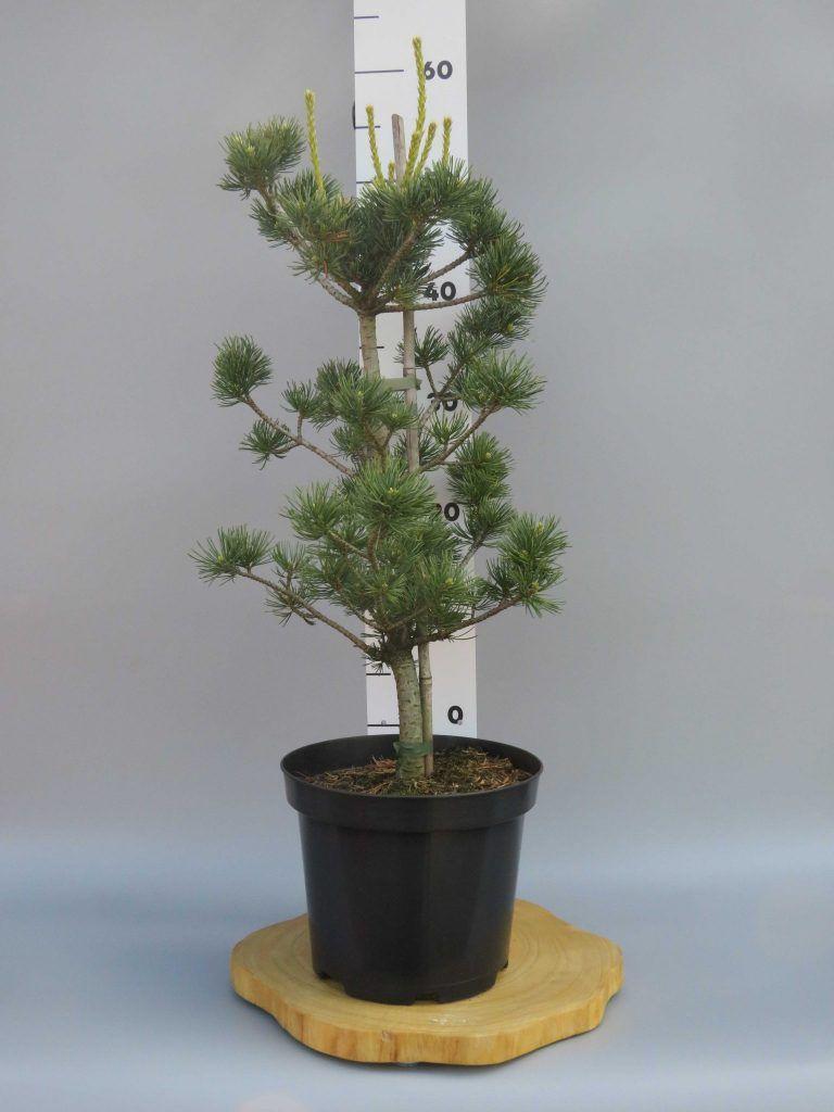 pinus-parviflora-fukai-web
