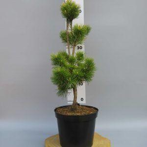 pinus-parviflora-goldi-locks-web