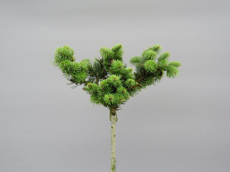 abies-cephalonica-gregs-broom