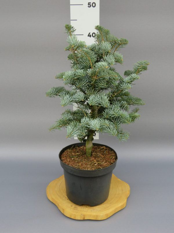 abies-concolor-archers-dwarf-2