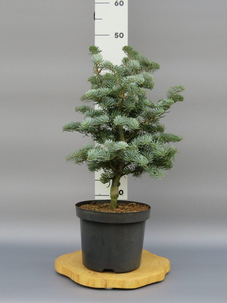 abies-concolor-archers-dwarf