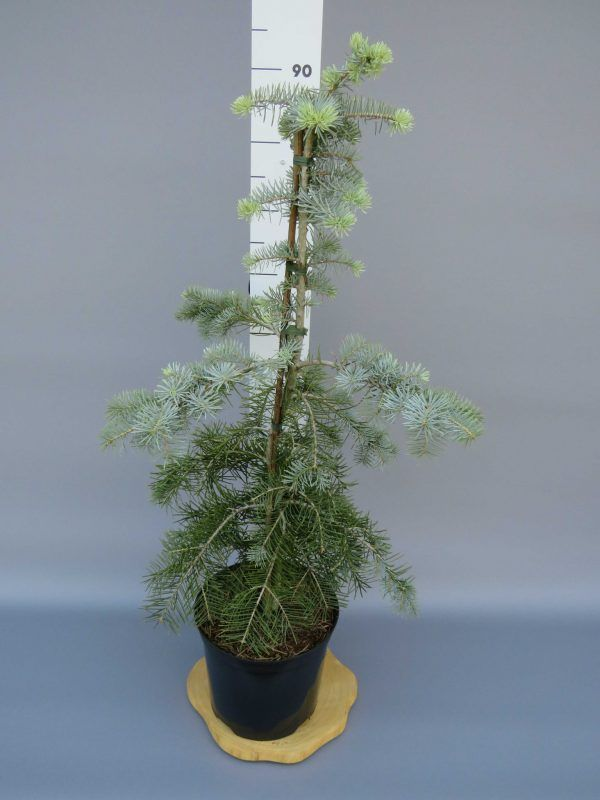 abies-concolor-blue-cloak-2