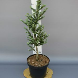 abies-fraseri-blue-bonnet