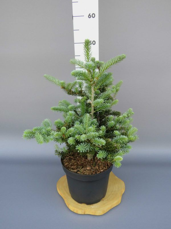 abies-koreana-blue-magic-2