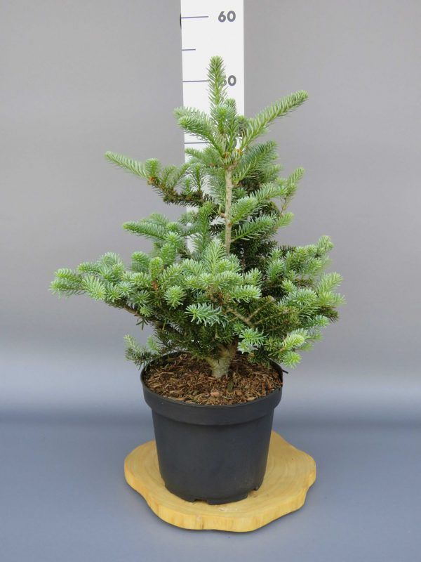 abies-koreana-blue-magic