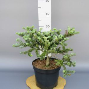 abies-koreana-bonsai-blue