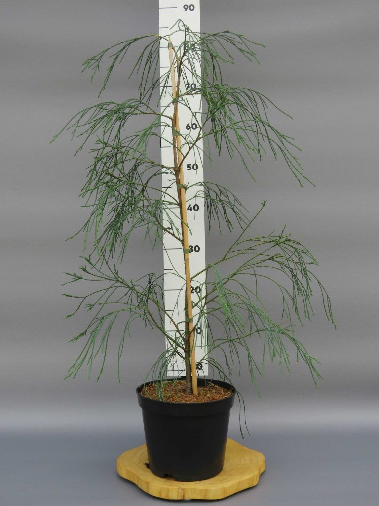 chamaecyparis-lawsoniana-drooping-solo-web