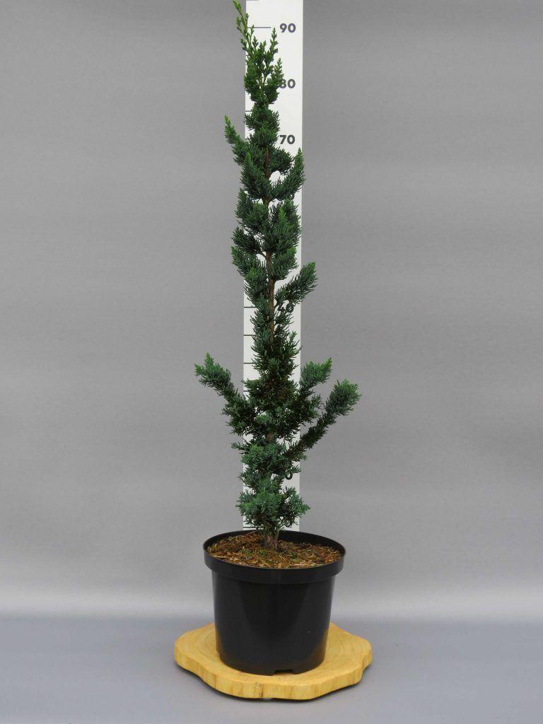 chamaecyparis-lawsoniana-wissels-saguaro-2-web