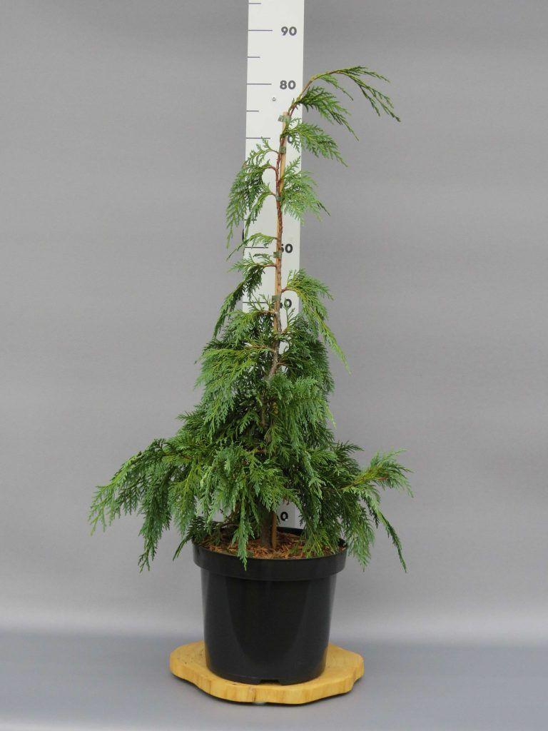 chamaecyparis-nootk-green-arrow-2-web