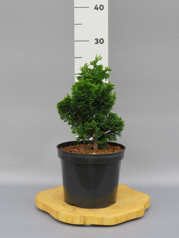 chamaecyparis-obtusa-yellow-tip-2-web