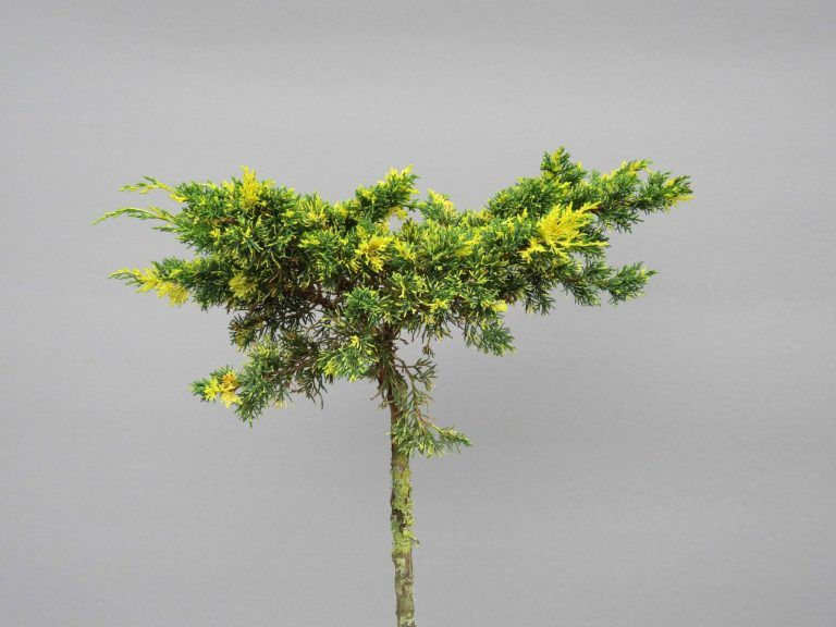juniperus-chinensis-joe-chimpact-variegated-web