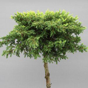 juniperus-communis-goldschatz-web