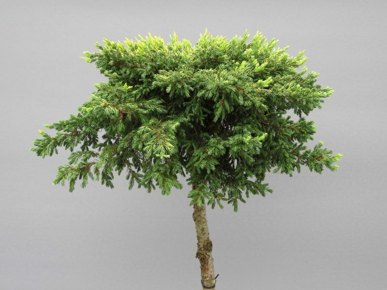 juniperus-communis-goldschatz-web