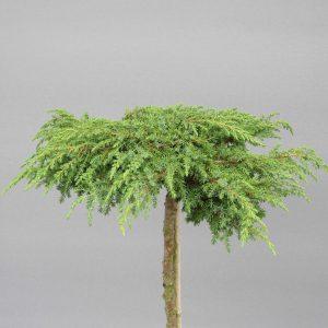 juniperus-communis-green-carpet-2-web