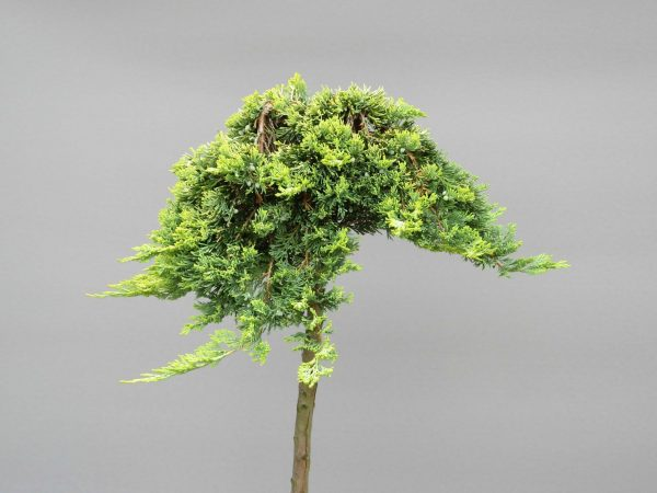 juniperus-horizontalis-golden-carpet-3-web