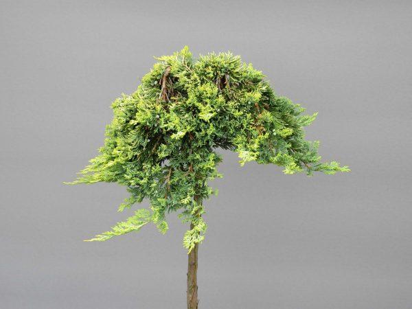 juniperus-horizontalis-golden-carpet-5-web