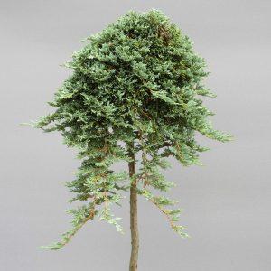 juniperus-horizontalis-icee-blue-web