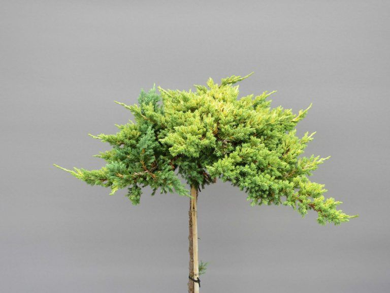 juniperus-procumbens-kishiogima-4-web