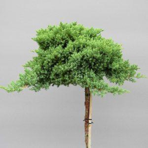 juniperus-procumbens-nana-web