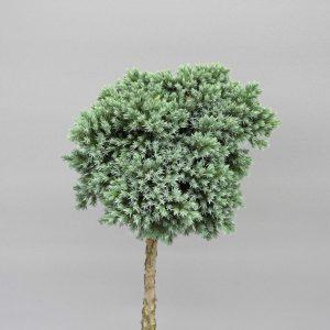 juniperus-squamata-blue-star-2-web