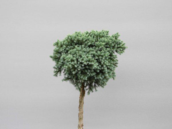 juniperus-squamata-blue-star-web