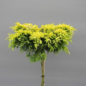 juniperus-squamata-golden-joy-3-web