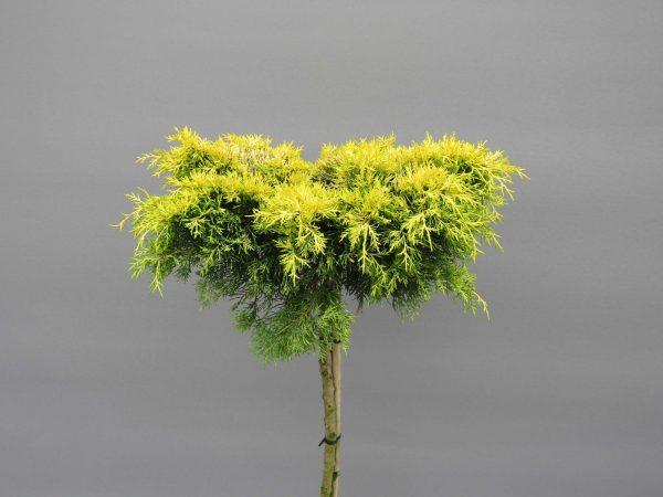 juniperus-squamata-golden-joy-3-web