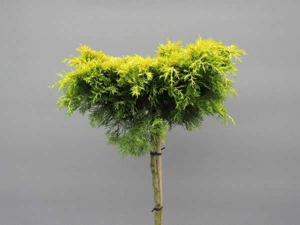 juniperus-squamata-golden-joy-web