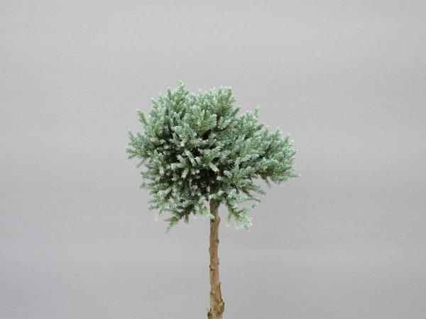 juniperus-squamata-tropical-blue-2-web