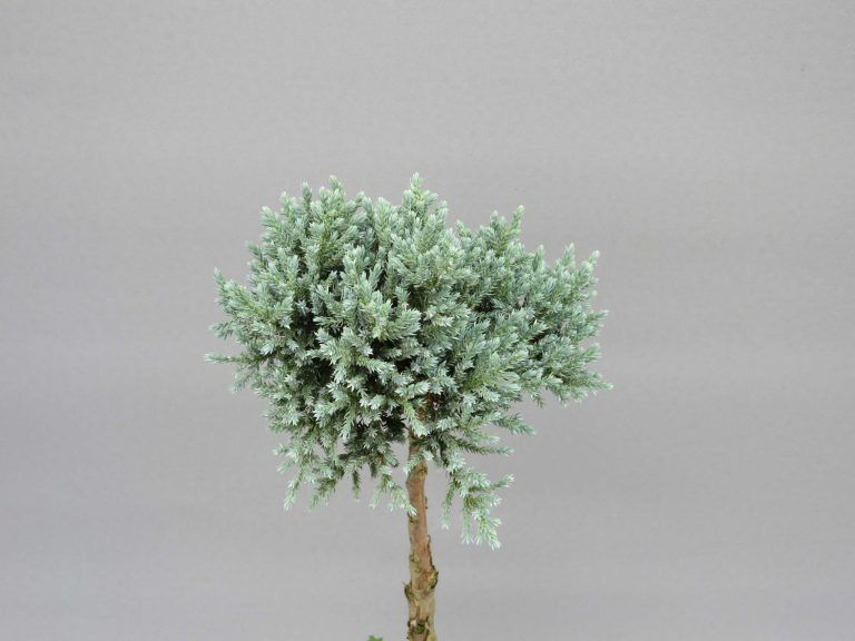 juniperus-squamata-tropical-blue-3-web