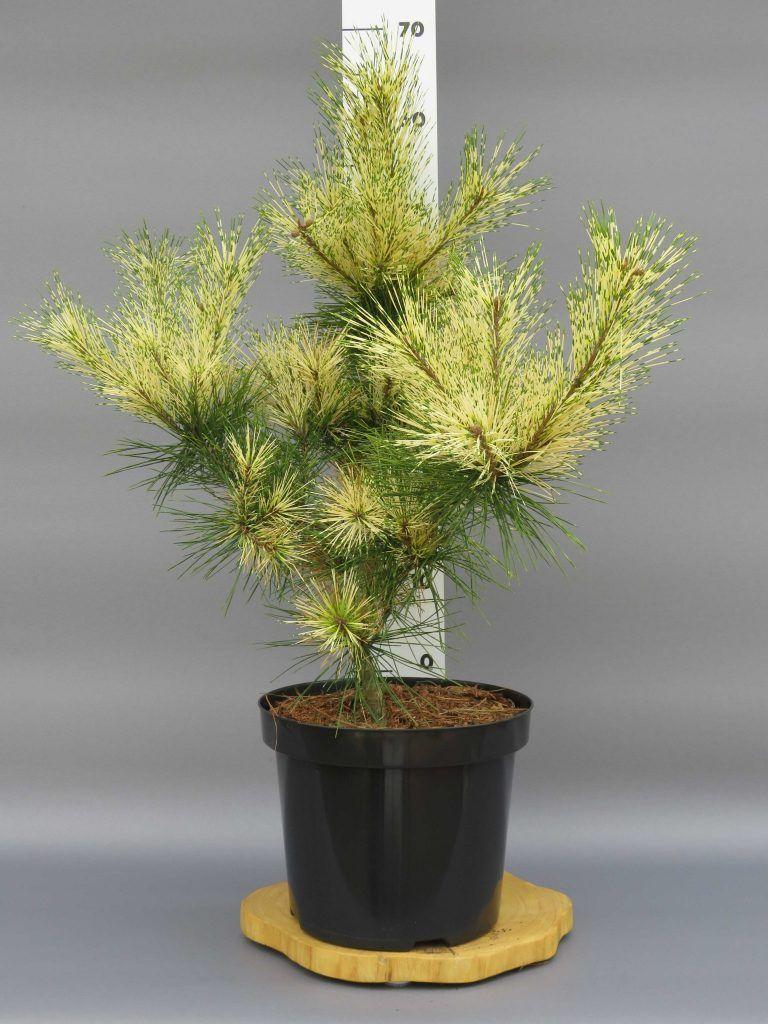 pinus-densiflora-oculus-draconus-web