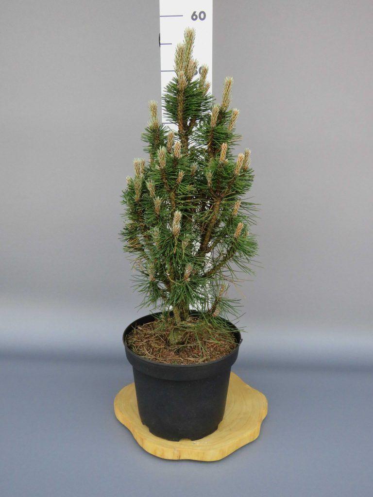 pinus-nigra-frank