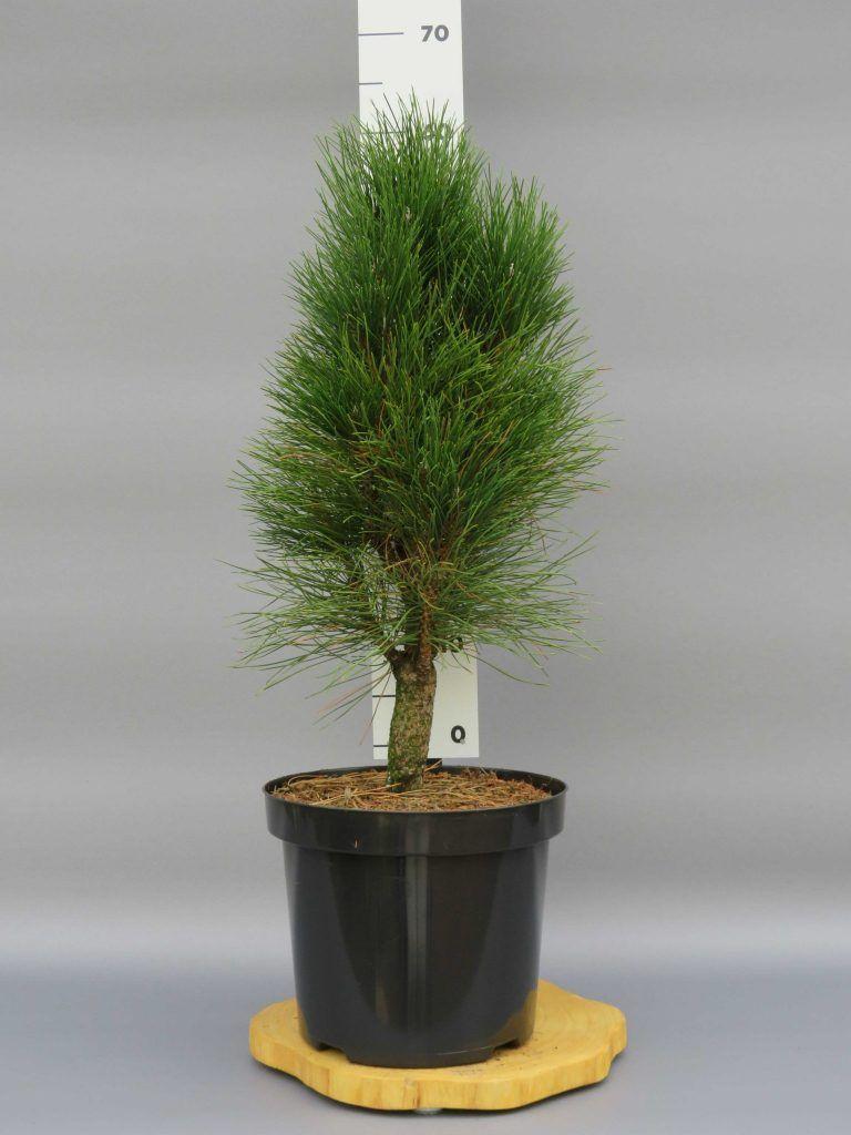 pinus-nigra-green-tower-4-web