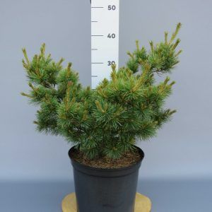 pinus-parviflora-nelly-d