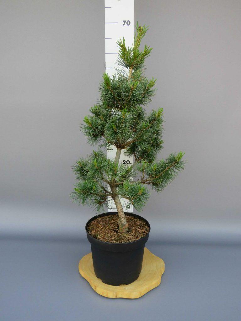 pinus-parviflora-schoons-bonsai