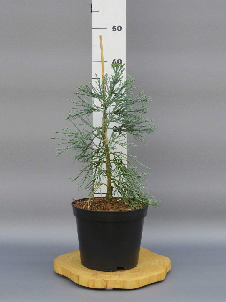 sequoiadendron-giganteum-glaucum-web