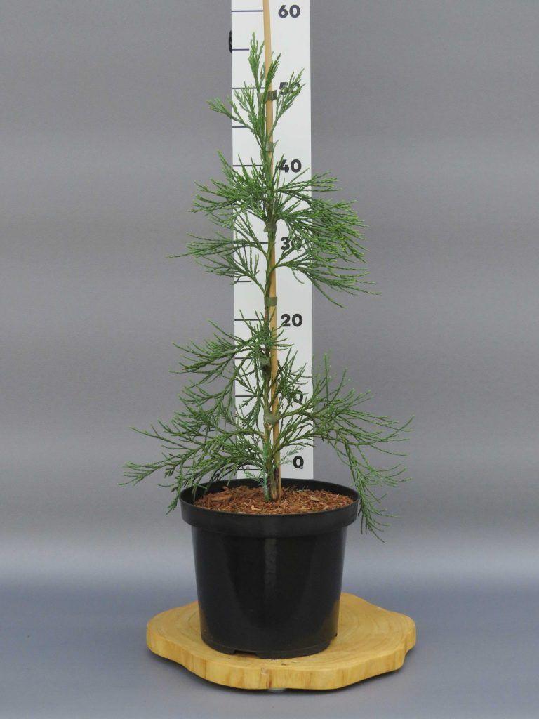 sequoiadendron-giganteum-pendulum-web