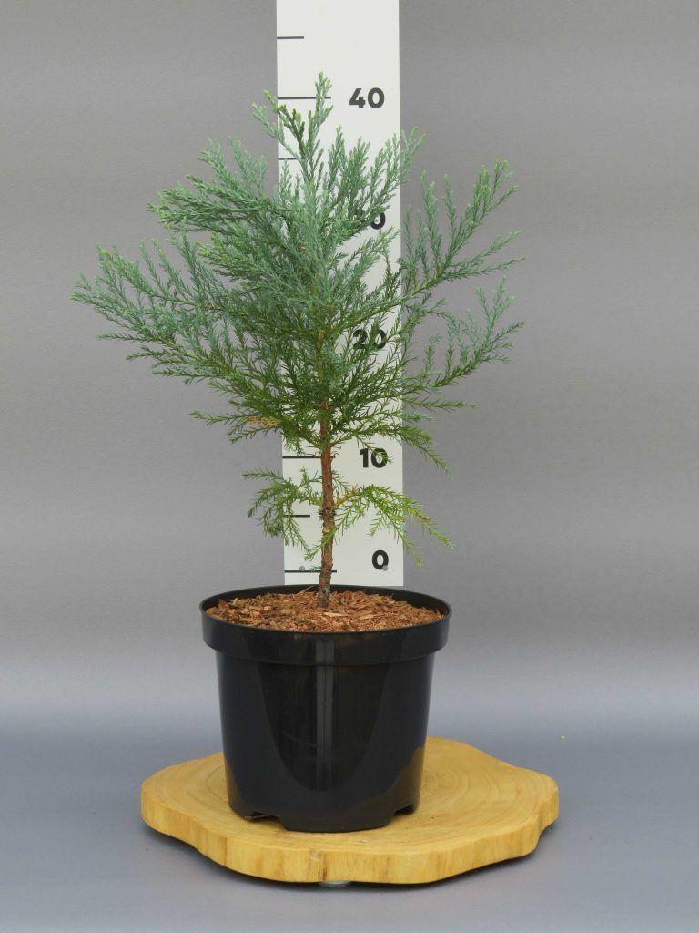 sequoiadendron-giganteum-web