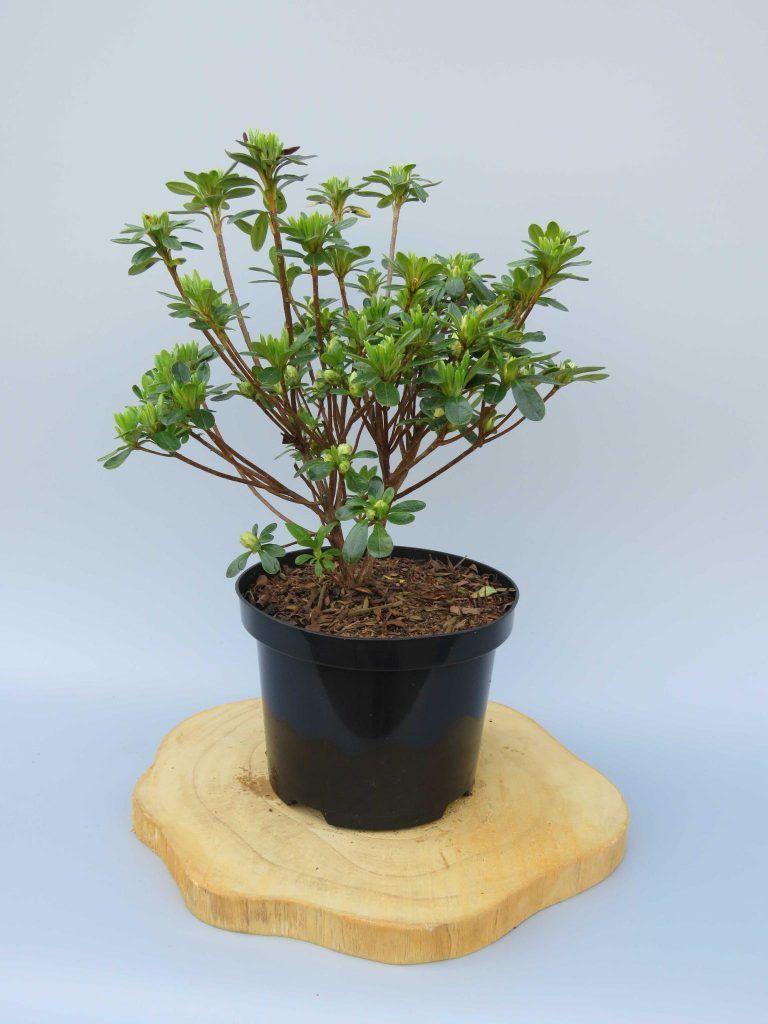 Azalea-japonica-Hisako-web