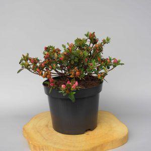 azalea-japonica-anne-frank-web