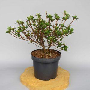 azalea-japonica-kermesina-rose-web