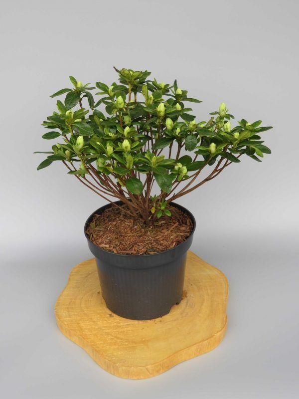 azalea-japonica-maischnee-2-web