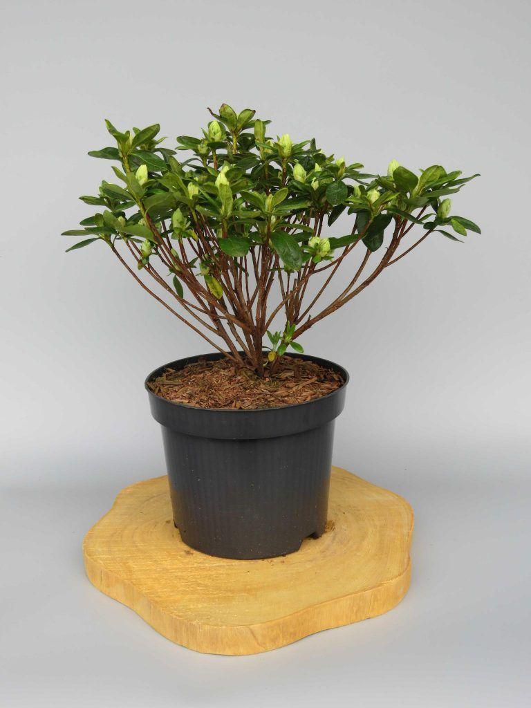 azalea-japonica-maischnee-web